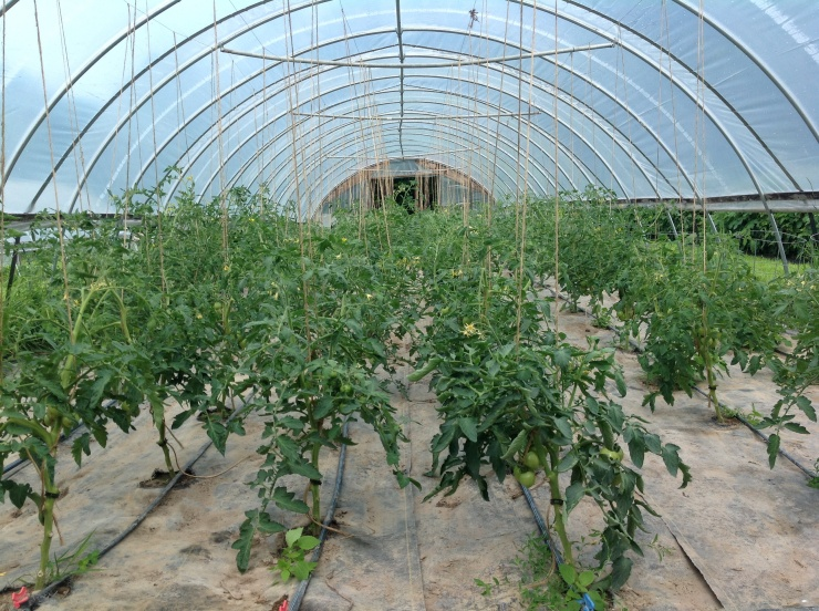 Heirloom tomatoes in the hoophouse