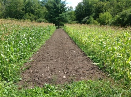 Sweet corn. - 1st planting on the right - 2nd on the left