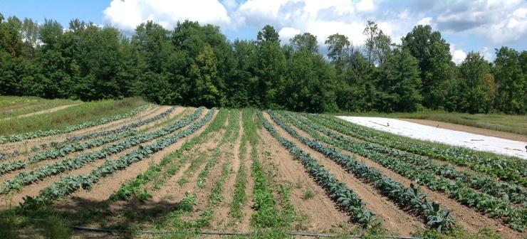 Fall crops - cabbage, kale, broccoli, turnips, rutabaga, collards