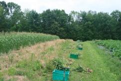 Harvest Lugs