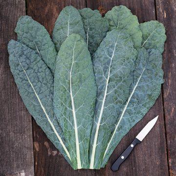 Lacinato Kale (Dinosaur)