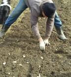 Garlic Planting 2
