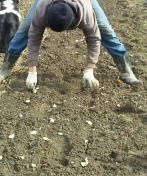 Garlic planting 3