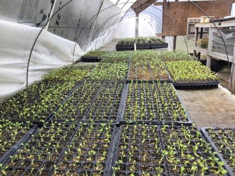 4/13 celeriac, eggplant, tomato
