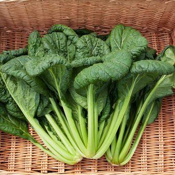 Yukina Savoy Asian greens