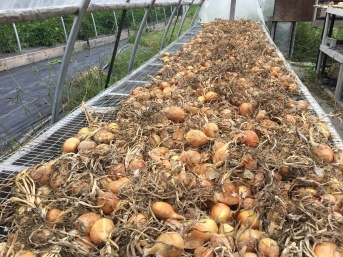 onions curing